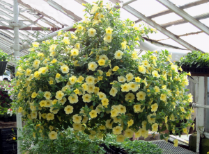 Chad's Pick: Sunny Hanging Basket Plant in North Adams, MA | MOUNT WILLIAMS GREENHOUSES INC