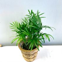 Chamaedorea Elegans 'Parlor Palm' *Pick-up Only*