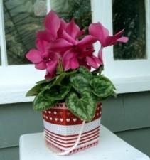 Charming Cyclamen Plant