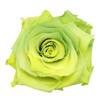 Chartreuse Rose