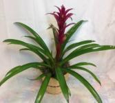 Luna Guzmania Bromeliad Green plant