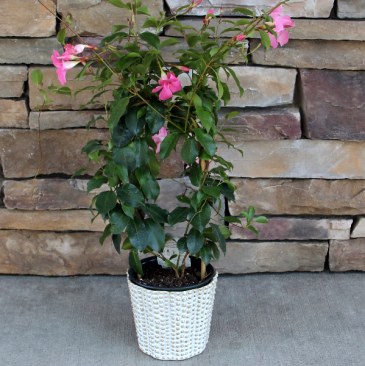 Chic Sun Parasol Blooming Plant