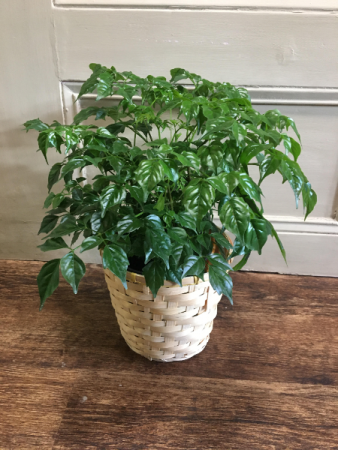 China Doll Indoor House Plant