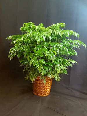 China Doll Plant in Lexington, NC | RAE'S NORTH POINT FLORIST INC.