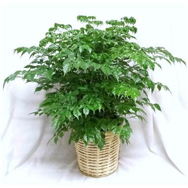 China Doll Plant Green plant