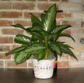 Chinese Evergreen - Aglaonema Foliage Plants