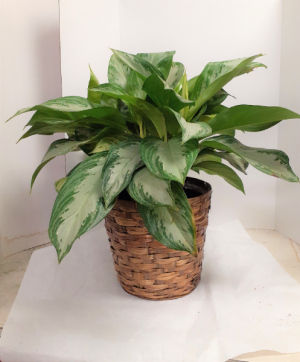 Chinese Evergreen  in Tottenham, ON | TOTTENHAM FLOWERS & GIFTS