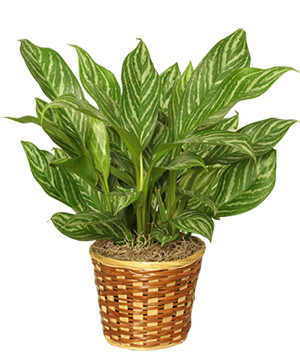 CHINESE EVERGREEN PLANT Aglaonema commutatum in Auburn, AL | AUBURN FLOWERS & GIFTS