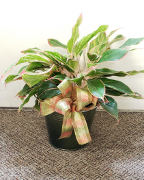 Chinese Evergreen Plant Plants (local only)