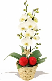 CHRISTMAS  WHITE   ORCHID