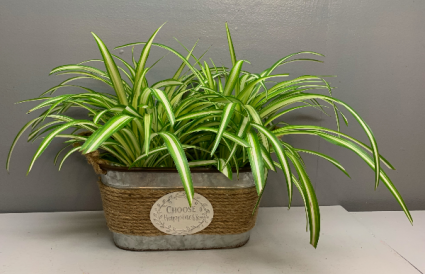 Choose Happiness with spider plants planter