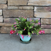 Christmas Cactus Blooming House Plant