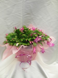 Christmas Cactus blooming plant