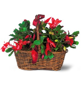 Christmas Cactus Holiday-Christmas