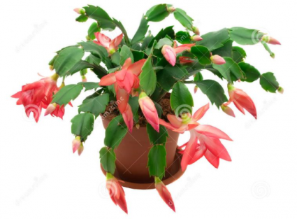 Christmas Cactus Plant.Anything Grows
