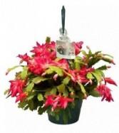 Christmas Cactus Plant Hanger