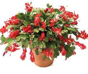 christmas cactus zygo cactus - Christmas Catcus