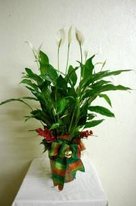 Christmas Peace Lily