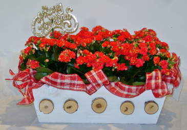 HOLIDAY PLANTER Indoor Blooming Plant