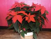 Christmas Poinsettia 10''