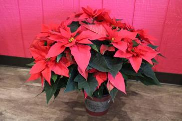 CHRISTMAS POINSETTIA 7 1/2''
