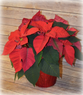 Christmas Poinsettia Single Stem Colors May vary