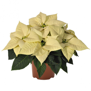 Christmas Poinsettia White