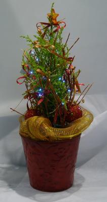 CHRISTMAS TREE Lemon Cypress Tree