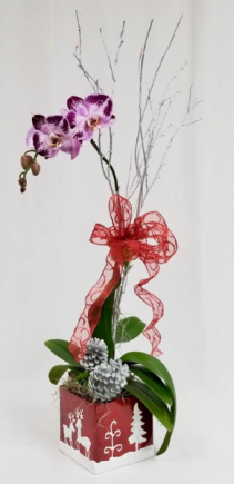 Chritmas Single Stem Orchid Orchid Plant
