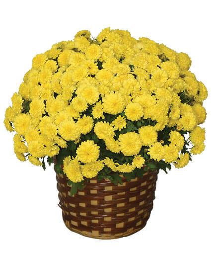 CHRYSANTHEMUM 8in. Blooming Plant