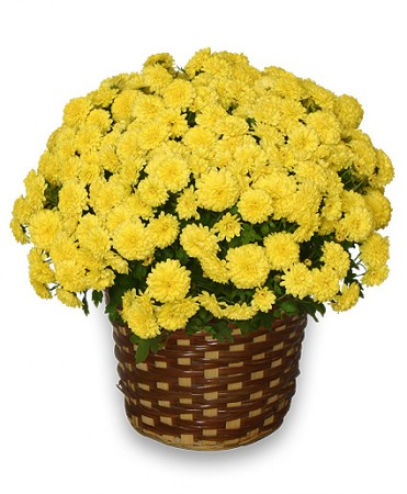 Top 10 flowers for fall how you can use them top 10 flowers for fall yellow potted mum mightylinksfo