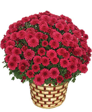 CHRYSANTHEMUM Blooming Plant in Ozone Park, NY | Heavenly Florist