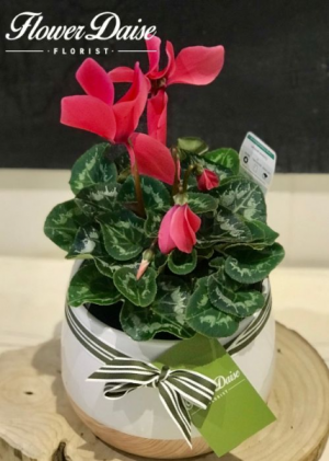 Cindy Cyclamen Plant Plant in Ceramic Container in Ferntree Gully, VIC | FLOWER DAISE