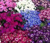 Cineraria  Flowering Plant