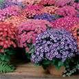 Cineraria Plant Plant