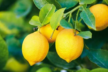 Citrus Trees- PATIO