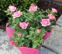 Classic Budding Rose blooming plant