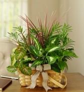 Classic Dish Garden Plants