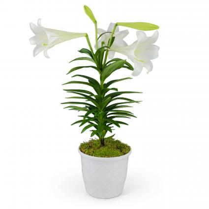 Classic Easter Lily Plant
