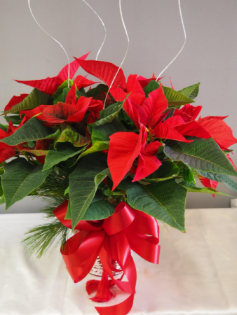 "Classic Red Poinsettia 6"" 6"" Blooming Plant"