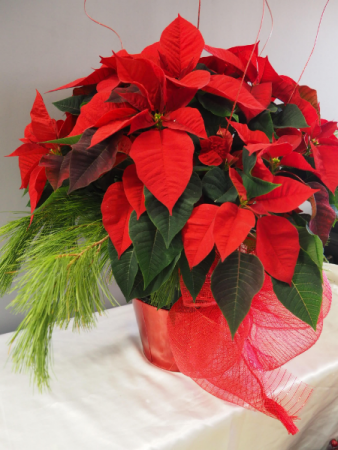 "Classic Red Poinsettia 8"" 8"" Blooming Plant"
