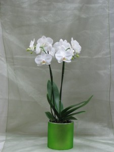 Classic White Orchids blooming plant