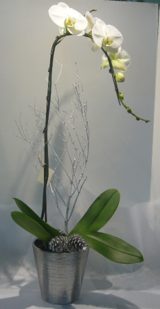 CLASSY ORCHID Blooming Plant