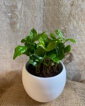 Coffee Plant 4