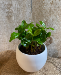 "Coffee Plant 4"" potted plant"