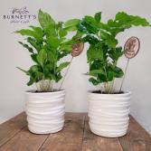 Coffee Plant Plant