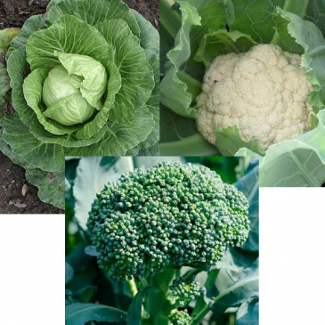 Cole Crops- Broccoli, Cauliflower, Brussel Sprouts Greenhouse