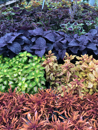 Coleus Greenhouse