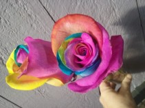 Color your world! What's in the cooler this week Rainbow Roses. Perfect for Recitals.