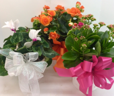 Colorful Blooming Plant Mum, Calendiva, Begonia or Cyclamin